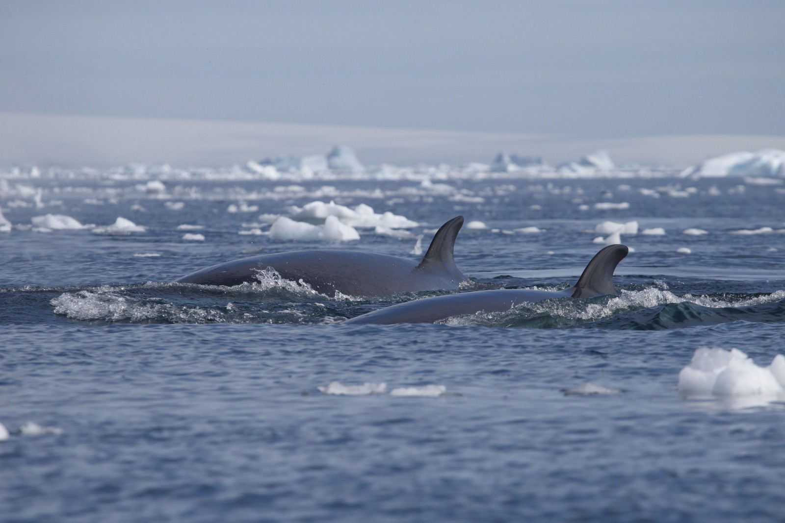 Double Dorsal Fins, Antarctica, Supplier Photo (Unscape)