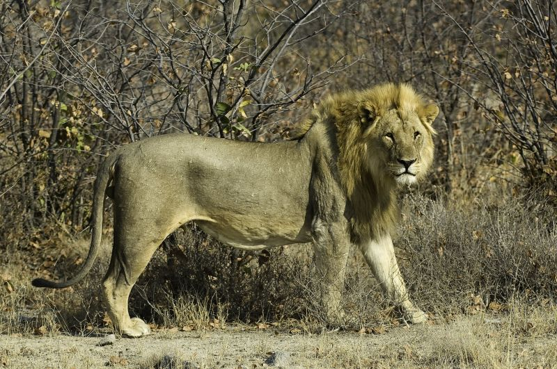 Lion, Etosha National Park, Namibia, Africa, Supplier Photo (Ultimate Safaris)