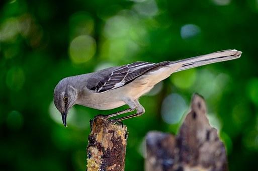 Mocking Bird, Galapagos, Ecuador, Pixabay.com