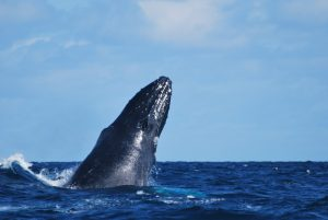 Sao Miguel Humpback whale-the Azores