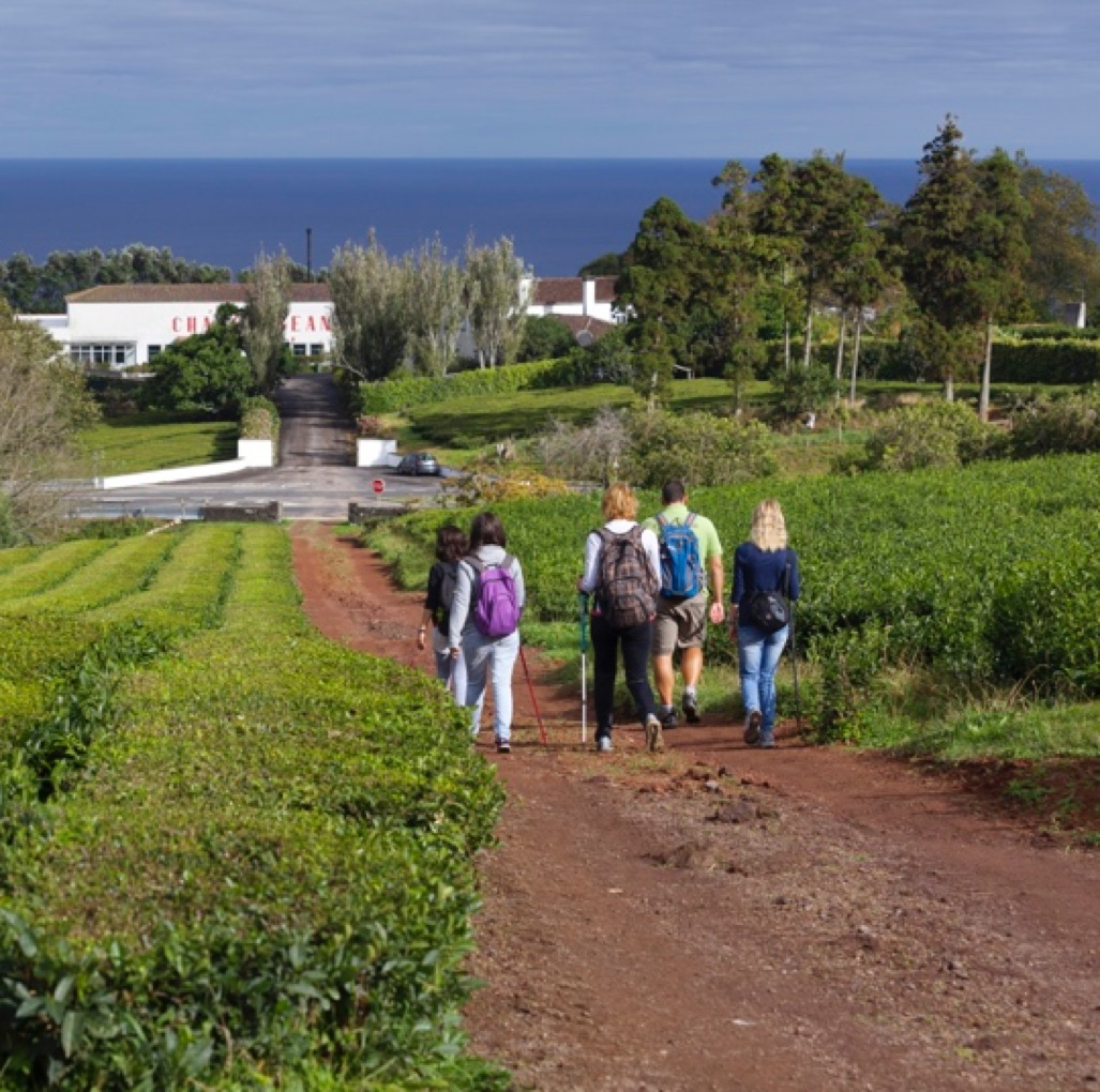 Tea Plantation-the Azores