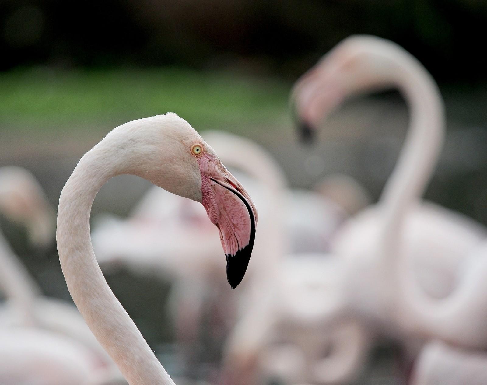 Flamingo, Madagascar, Africa, Pixabay.com