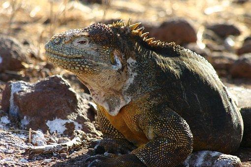 Iguana, North Seymour Island, Galapagos, Ecuador, Pixabay.com