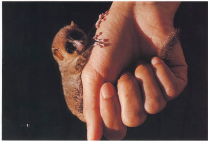 mouse lemur in Andasibe Madagascar