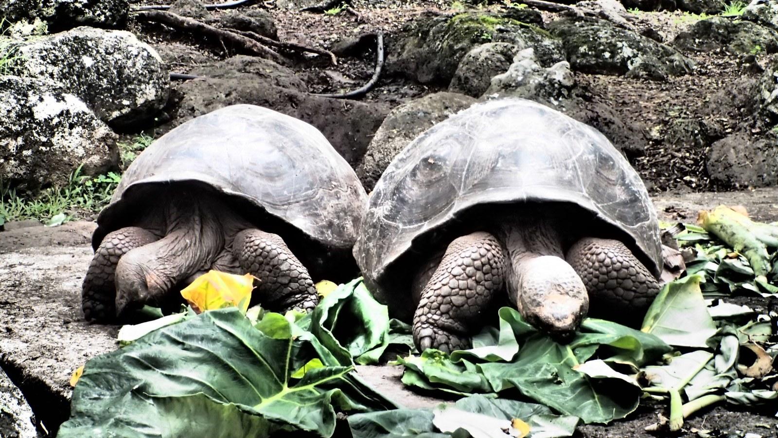 Giant Turtles, Santa Cruz Island, Galapagos, Ecuador, Supplier