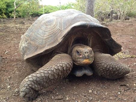 Tortoise, Santa, Galapagos, Ecuador, Pixabay.com